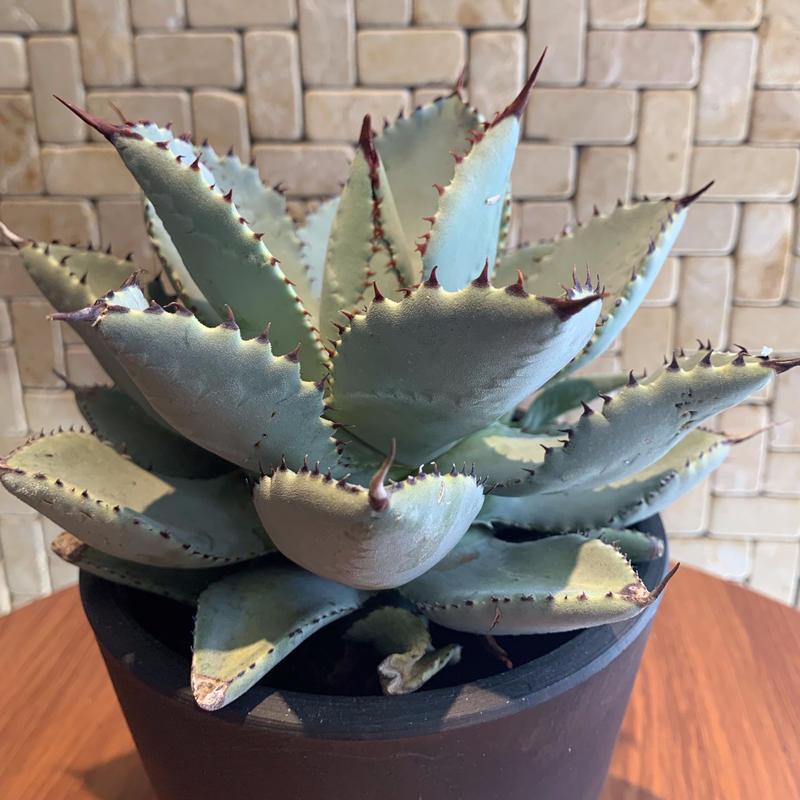 """Agave  Pygmaea  """"Dragontoes""""  2"""