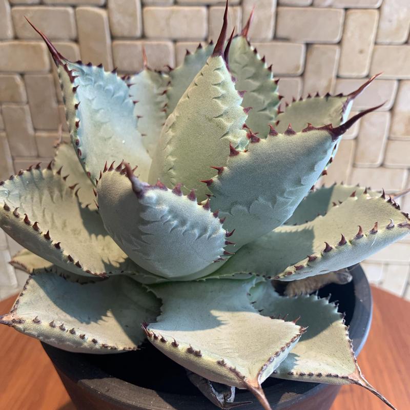 """Agave  Pygmaea  """"Dragontoes"""" 1"""