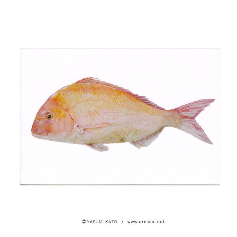 加藤休ミ 魚ポストカード(真鯛)