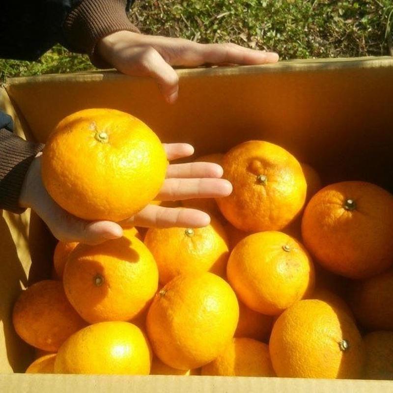わかまつ農園 農薬・化学肥料不使用の甘夏30kgパック