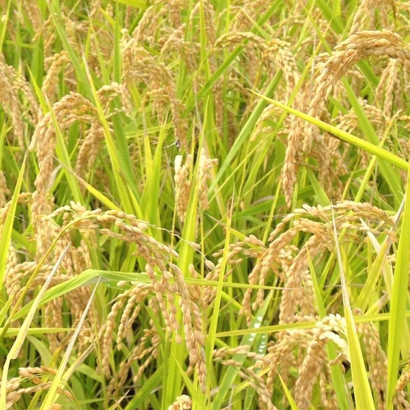 無農薬合鴨農法米(玄米)コシヒカリ 5kg