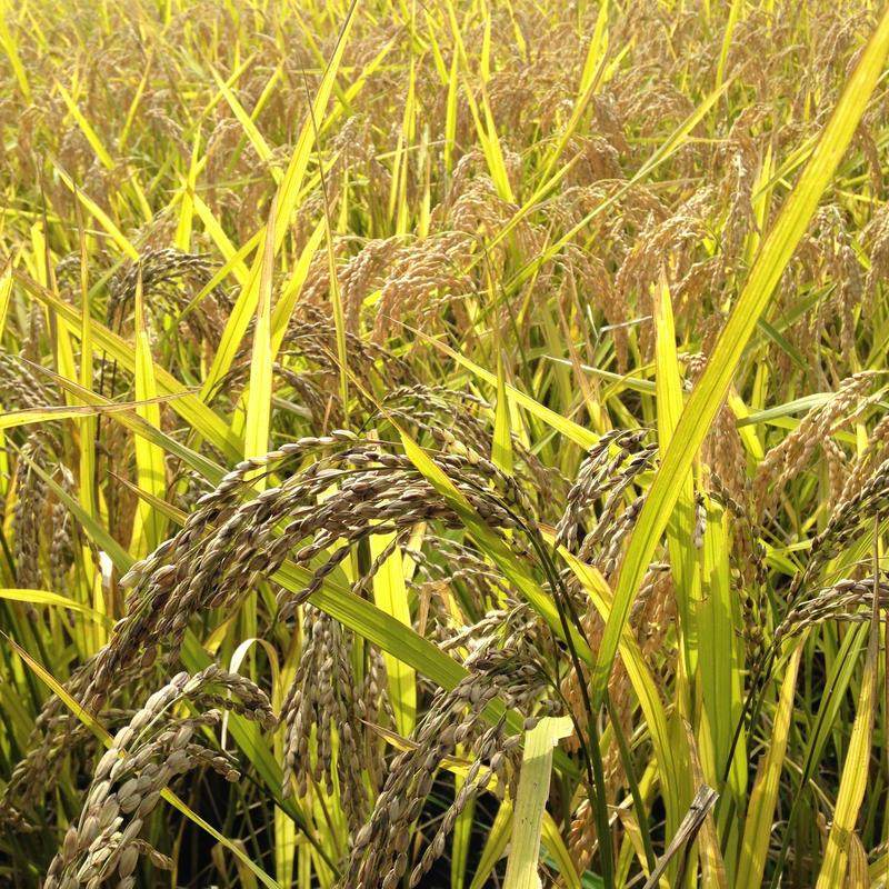 無農薬合鴨農法天日掛け干し米(玄米)コシヒカリ30kg