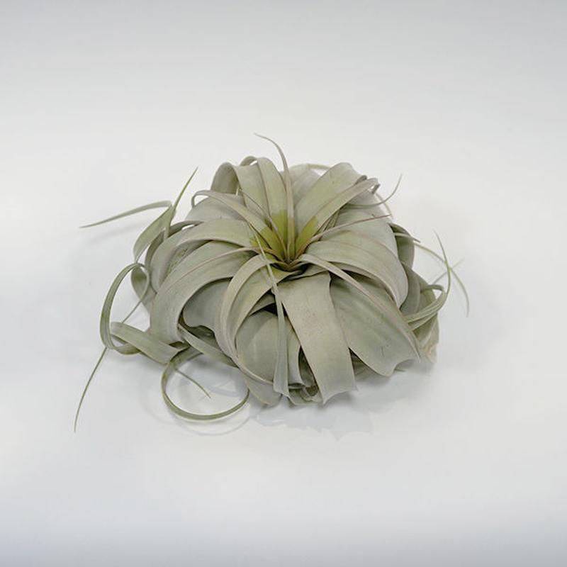 チランジア・キセログラフィカ S