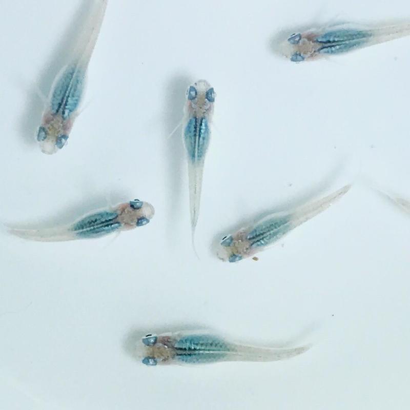 改良メダカ 深海   幼魚(1~1.5cm)