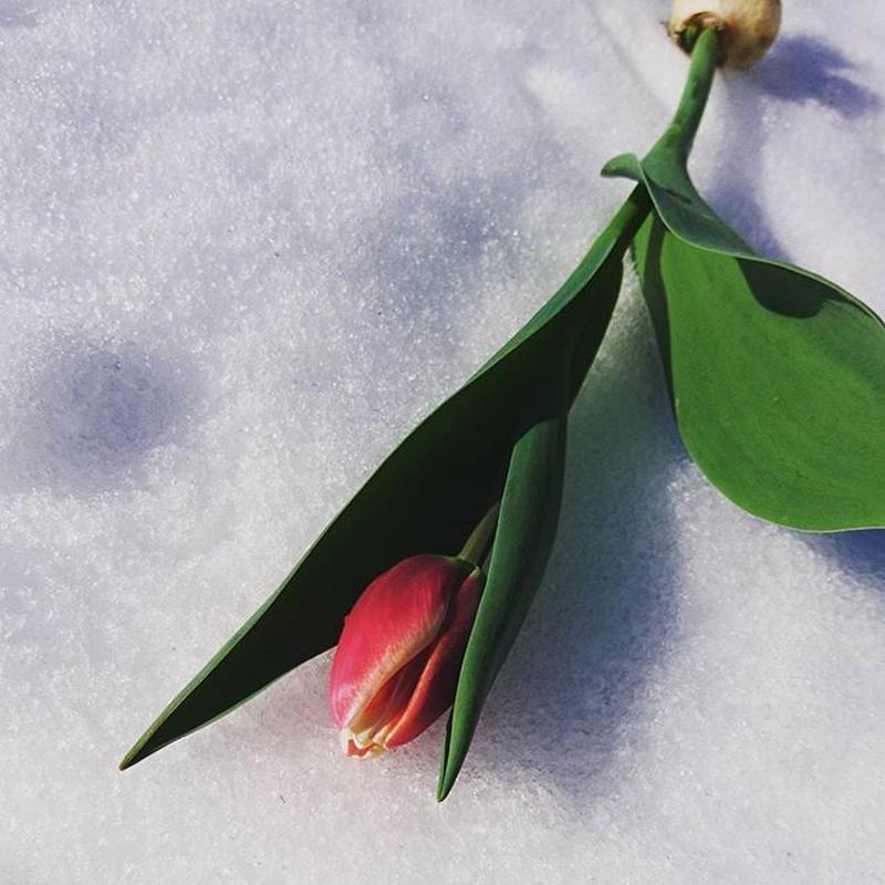 クール便対応・チューリップの花束(25本入り)