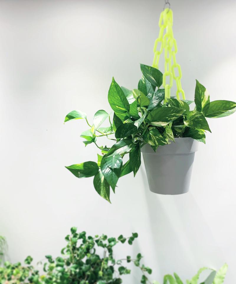 【観葉植物 】チェーンハンギングとポトスのセット yellow / white