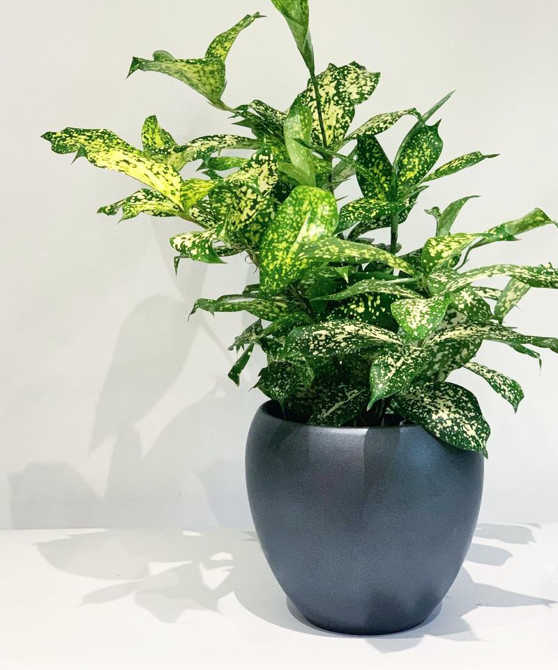 【観葉植物 】ドラセナ ゴッドセフィアーナ