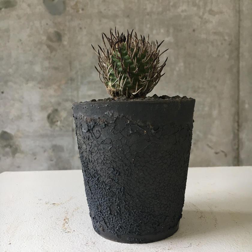 Turbinicarpus  SP