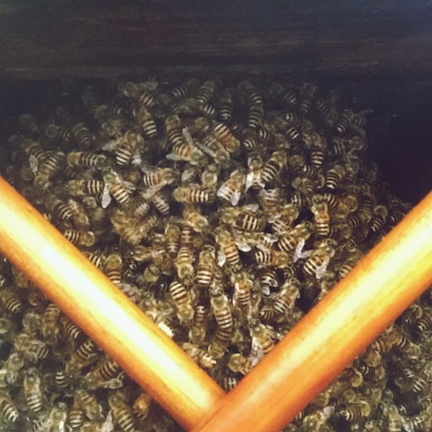 ニホンミツバチ/和蜂日本蜂蜜