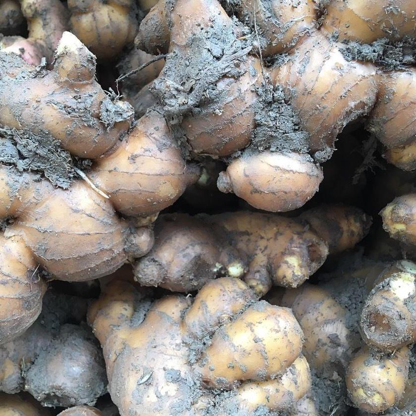 自然農法土佐一生姜1kg