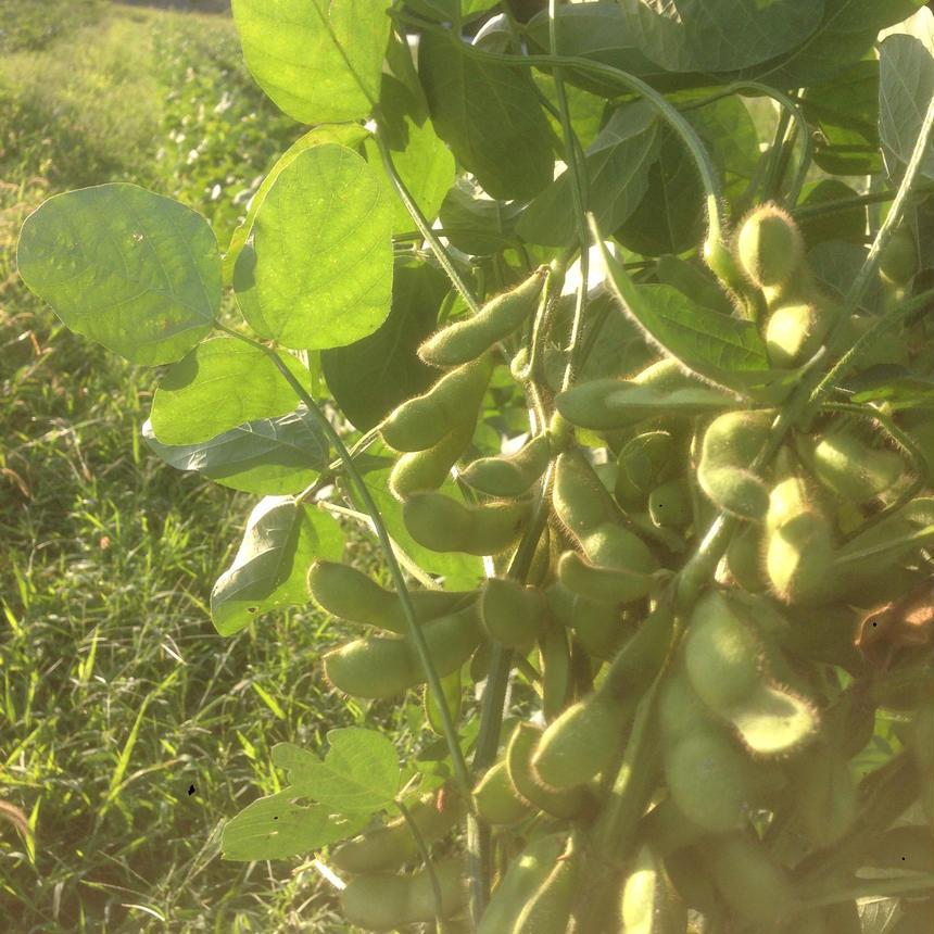 【大好評】 丹波産 茶豆2kg(250g袋詰め×8パック)セット(枝豆) 送料込 ※今年も8月から販売します。