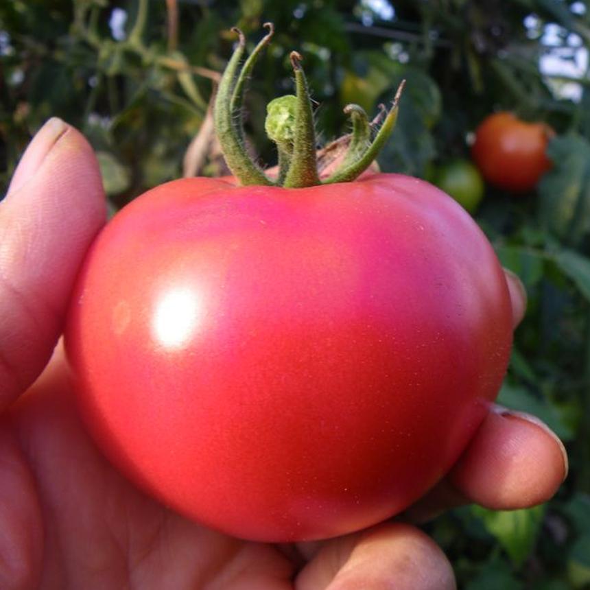 自然栽培 完熟大玉トマト