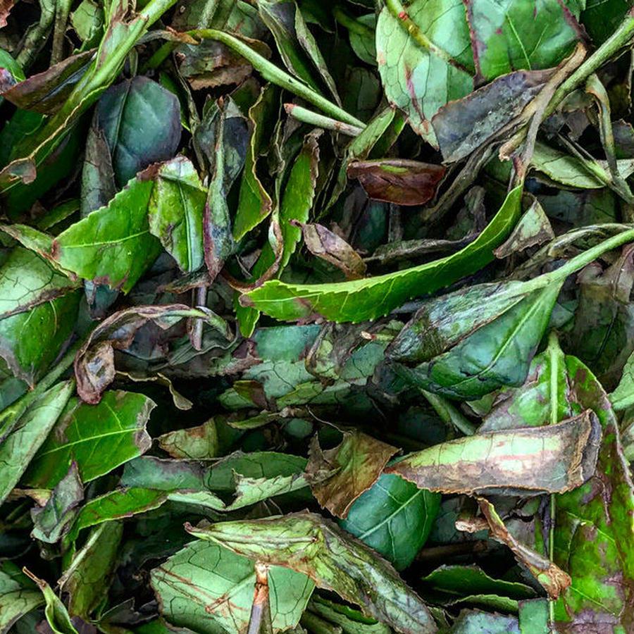 [開催中止]2018年9月8日(土)開催決定!秋の茶摘み体験「秋だ!茶摘みだ!発酵だ!日本の紅茶をつくります編」