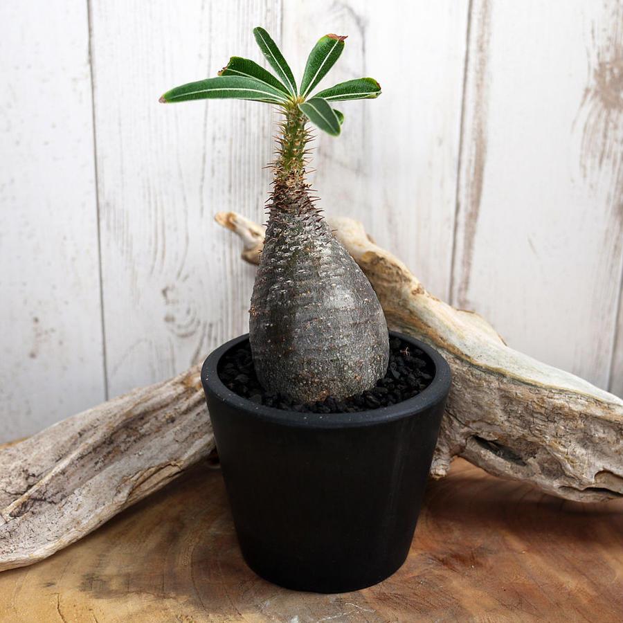 Pachypodium rosulatum spp. gracilius パキポディウム・ロスラーツム・グラキリウス(グラキリス)G11