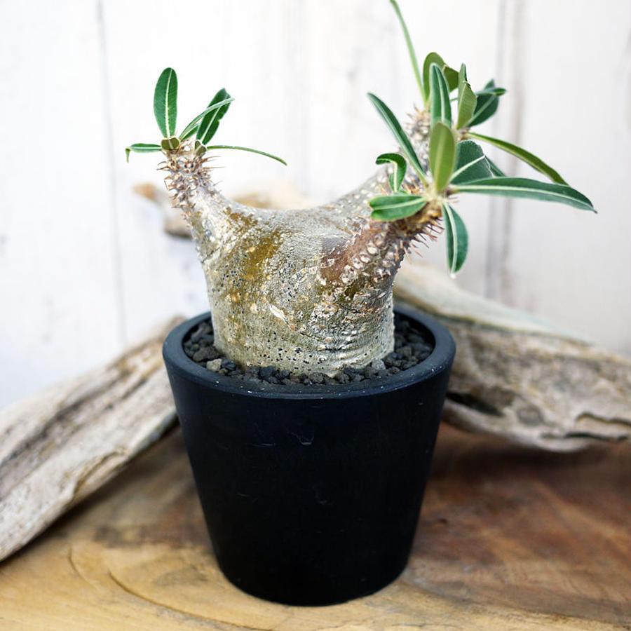 Pachypodium rosulatum var. cactipes パキポディウム・ロスラーツム・カクチペス