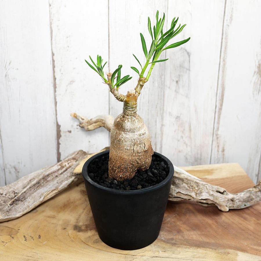 Pachypodium succulentum パキポディウム・サキュレンタム