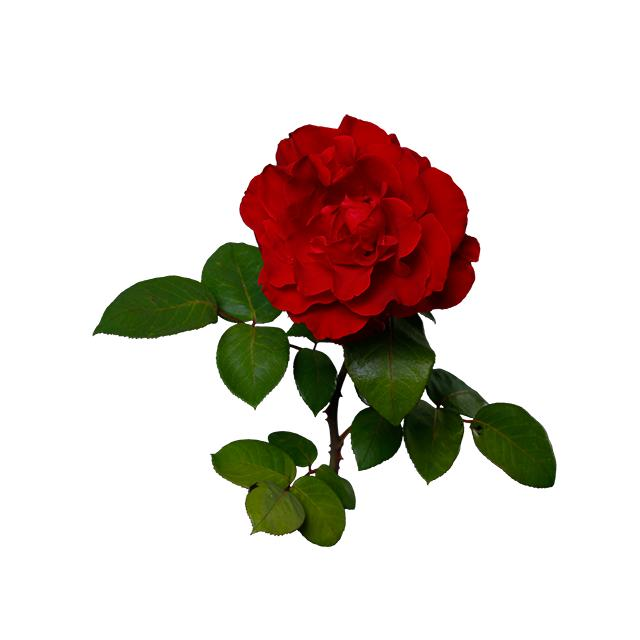 深紅バラ 透過画像png 04 Flower Asset Store