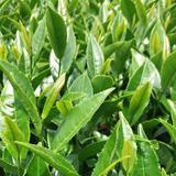 五ヶ瀬緑製茶
