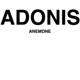 ADONIS ANEMONE