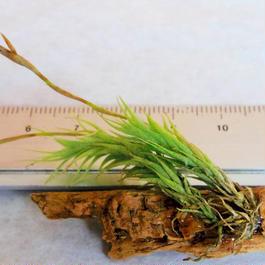 チランジア / トリコレピス (T.tricholepis)