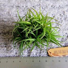 チランジア / アエラントス ブロンズ (T.aeranthos 'Bronze')
