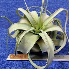 チランジア / キセログラフィカ Sサイズ (T.xerographica)