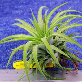 チランジア / イオナンタ マキシマ (T.ionantha var.maxima)