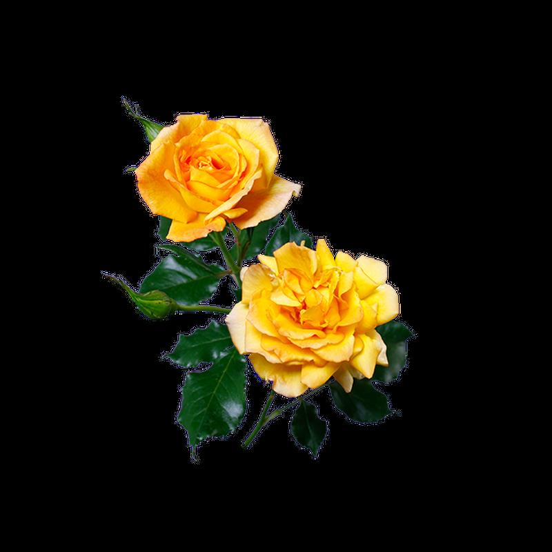 黄バラ 透過画像png 03 Flower Asset Store