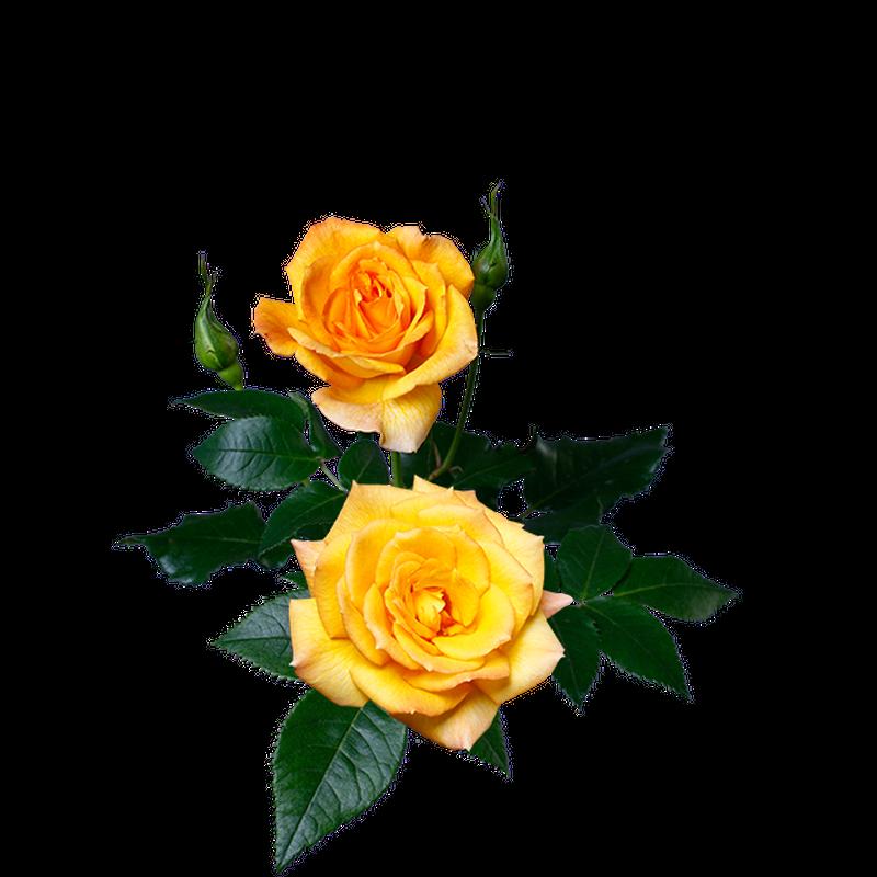 黄バラ 透過画像png 04 Flower Asset Store