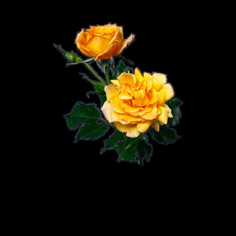 黄バラ 透過画像png 05 Flower Asset Store