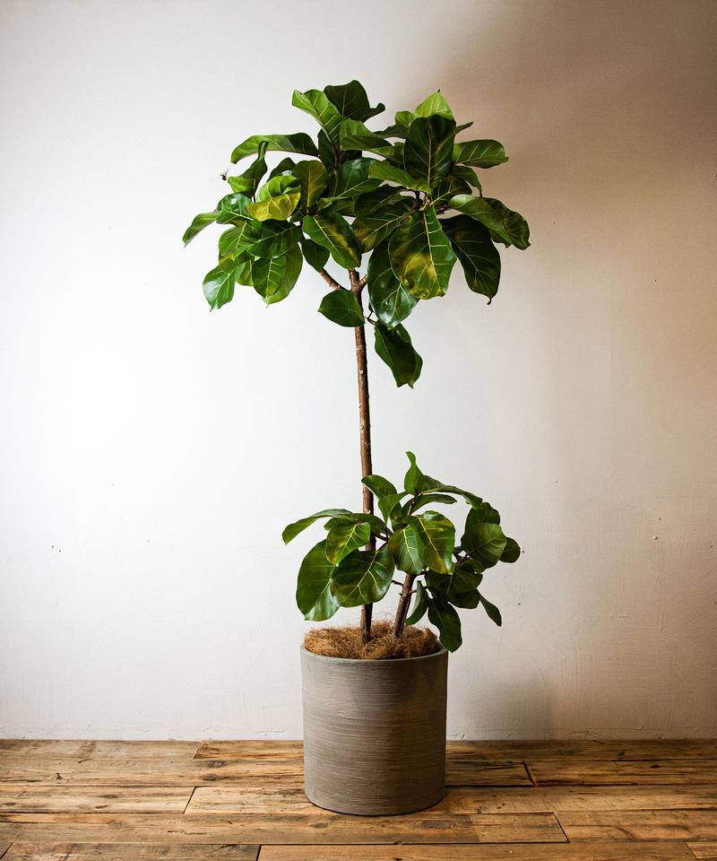 プリンス アフリカン アフリカンプリンスも挿し木で増やせます