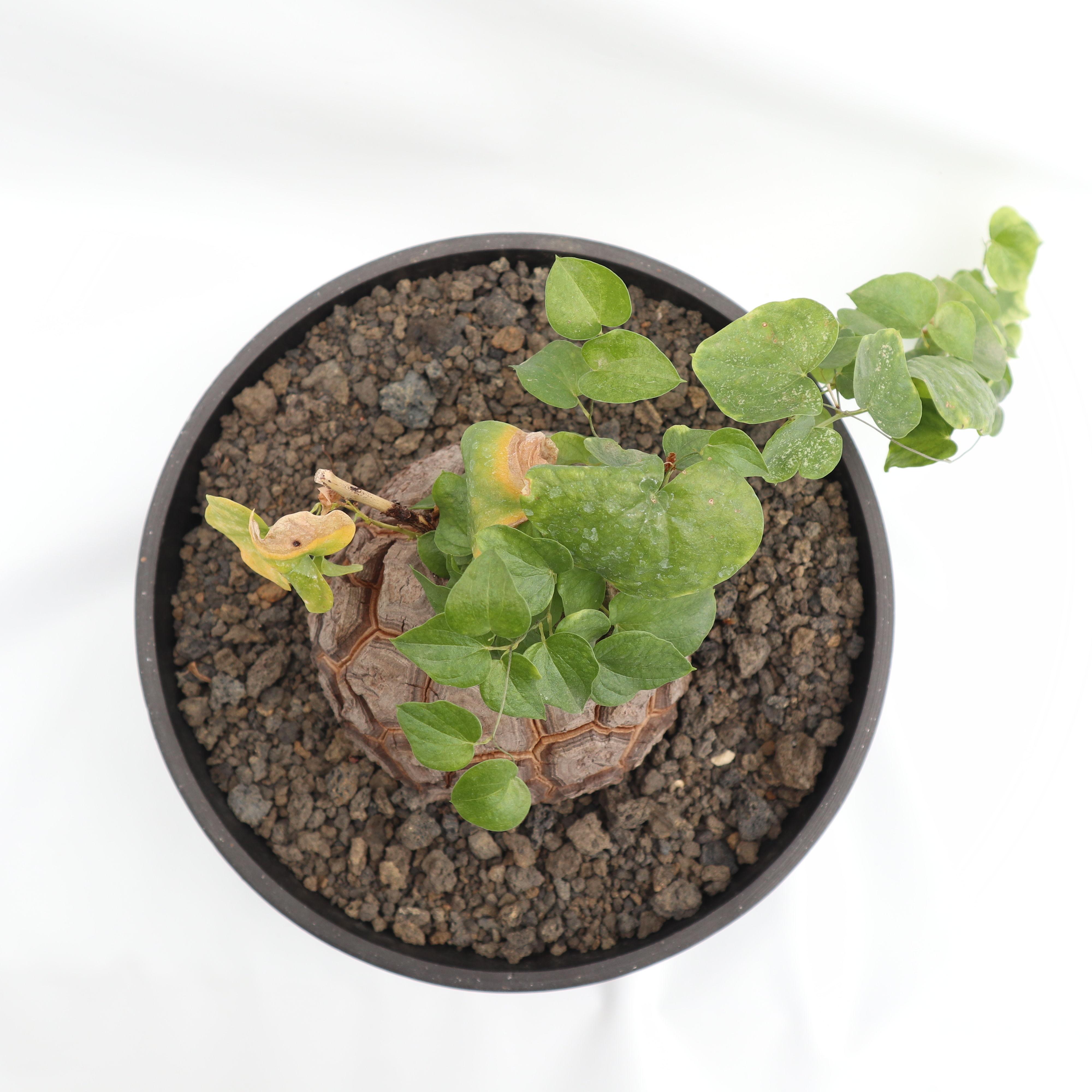 mana's green:塊根植物販売|マナズグリーン            亀甲竜